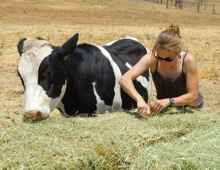 CA Shelter Connie Pugh Photos - Phoenix cow and Caregiver Kerrie Wooten 157