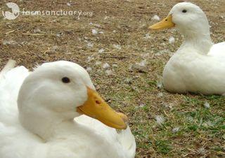 2008_10_30 Ca Simon and Dutch ducks_cropped copy