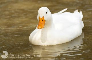 Dutch_Duck_0165_CREDIT Derek Goodwin_cropped