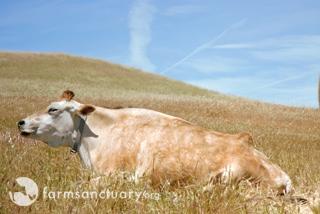 Wm_cow