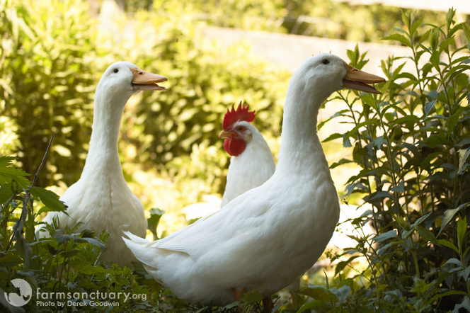 Huey_Duey_The sidekick chick_Chicken_798_NY_CREDIT Derek Goodwin
