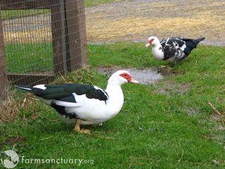 Bella and Della Duck CA_IMG_0478