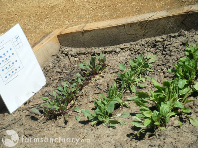 USDA Peoples Garden raised bed 4-27-09 copy