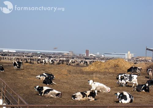 2009_02-01_AJF Dairy_cows_Chowchilla, CA_02_by Ariana