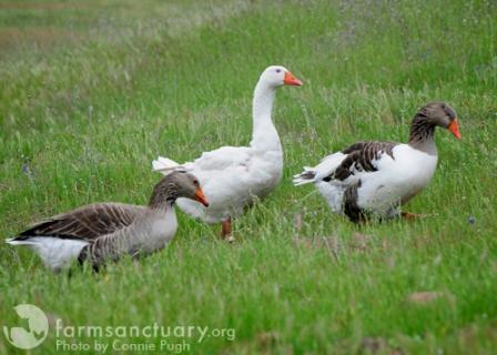 DUCKS 2009_04-09_FSCA_Marsha, Summer, Prophet geese by Connie Pugh