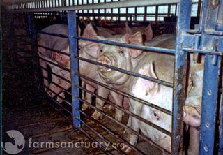 Pigs16_300_1
