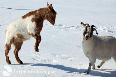 Snowy goats