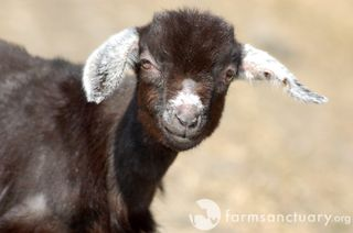 Jack_Goat_FSNY (14)