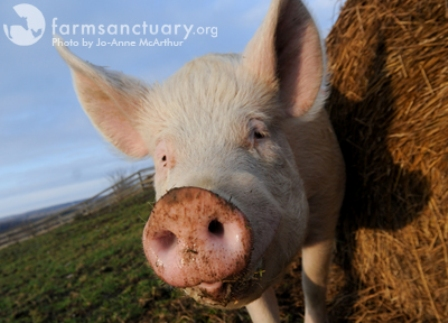 Pig Photo by Jo-Anne McArthur Web Small