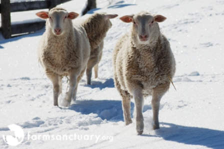 Snowy sheep2