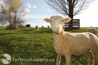 Farm Sanctuary_Lucky Lady sheep