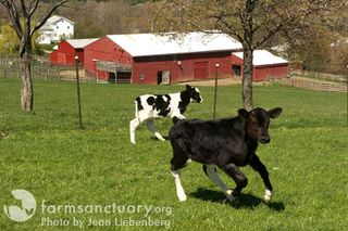 Farm Sanctuary calves_by Jean Liebenberg