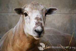 Farm Sanctuary_Rambo