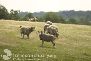 Farm Sanctuary sheep_by Derek Goodwin
