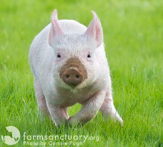 Farm Sanctuary_Blossom piglet_by Connie Pugh