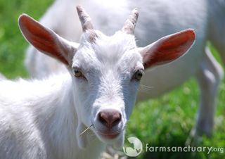 Farm Sanctuary_baby goat.JPG