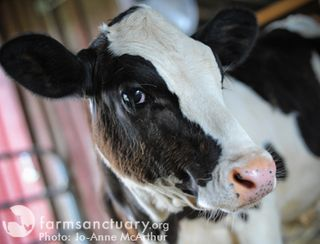 Farm Sanctuary_calf by Jo-Anne McArthur
