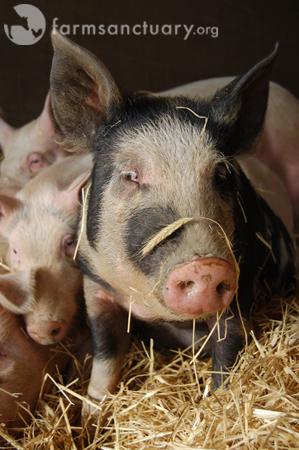 Joan pig_Farm Sanctuary