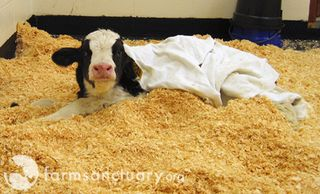 New rescued calf 2_Farm Sanctuary