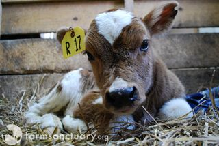 New rescued calf 1_Farm Sanctuary