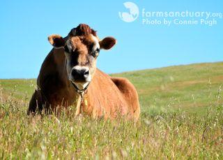 2009_04-11_FSCA_Bernie cattle by Connie Pugh
