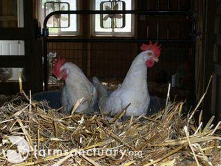 Buckeyes_Chicken_TheFarm 002